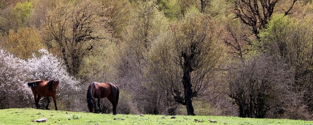 گردش اسب های جنگل الیمستان