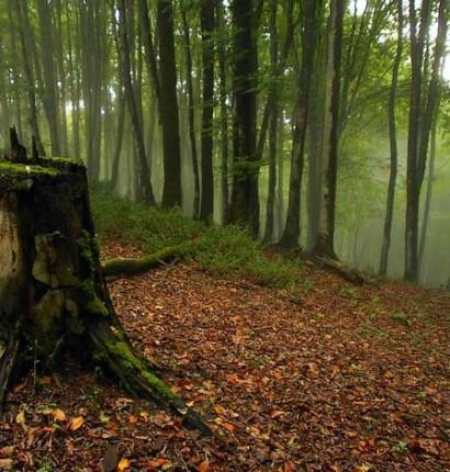 جنگل هیرکانی و راش