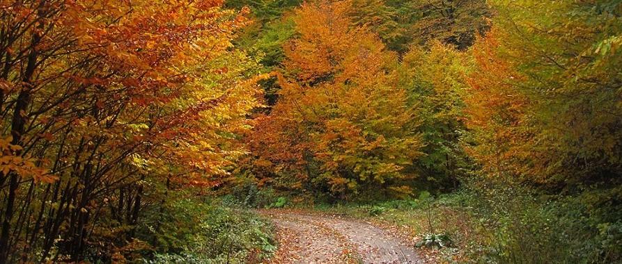 مسیر جنگل راش