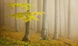 جنگل راش در مه