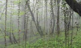 جنگل ارفع ده